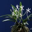 富貴蘭「天晃殿A」の花