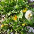 散歩みちの花々(ツクシ・タンポポ)