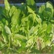 ホウレン草の初収穫
