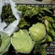 今日の収穫 キャベツ ブロッコリー うまい菜 ニンジン パセリ ワケギ ネギ