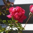 鉢植えのビオラと初冬の赤とピンクのバラ