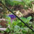 青いアサガオが咲いた
