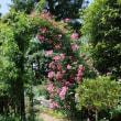 「京王フローラルガーデン アンジェ」のバラは