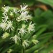 <ハナゼキショウ(花石菖)> 白花が清楚な日本固有の山野草