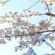★近所で一番早く咲く桜です!