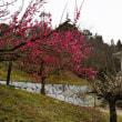 今治市菊間町のかわら館で梅の花が咲き初めています