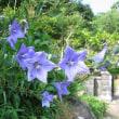 ・・・・・前庭に咲いていた桔梗です・・昨年は九月上旬まで猛暑の日が続きました・・・・・