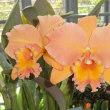 Rlc. Marlene Lundquist'Orange Delight'