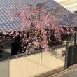 🌸枝垂れ桜移動🌸