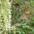 ハーブ、バラの下には土が乾燥しすぎないようにワイルドベリーが一面に。春までお別れの挨拶をカマキリが・・・