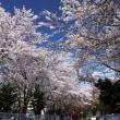 桜 2017〈7〉