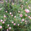 芙蓉に似た小さな花 - - ヤノネボンテンカ - -