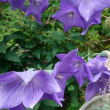 サラと庭の花