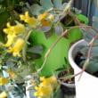 グズマニアが綺麗に咲きました~♪