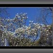 白木蓮が一気に咲きだした