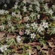 【京都府立植物園】第31回早春の山野草展開催のお知らせ(2017年3月16日~19日)