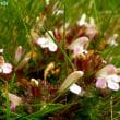 ペディクラリス・シルヴァティカ Pedicularis sylvatica