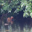 池を覆う垂れ下がった枝葉の下に、オシドリが泳いでいた。