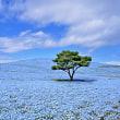国営ひたち海浜公園のネモフィラ【茨城県】