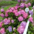 梅雨入りです 紫陽花もきれいです