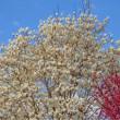 20/May  黒鳥とハクモクレンと緋寒桜