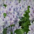 ホテイアオイの花、イトトンボ