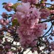 八重桜  白井宿