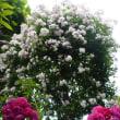 5月末薔薇の館は満開!