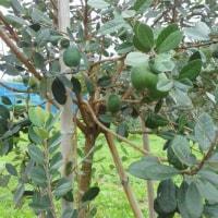 フェイジョアの収穫始まる