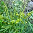 <ホソバヒイラギナンテン> 晩秋~初冬に鮮やかな黄花