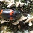 少々大きめのテントウムシに似た甲虫です