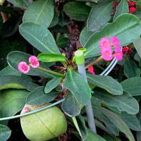 花麒麟(はなきりん)という花