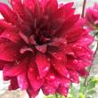 ダリアの花 「黒蝶」