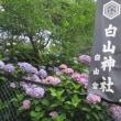 白山神社の紫陽花 2018.6.13