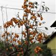 柿の実・まだ咲く西洋アサガオ