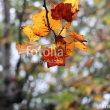 fotolia「落葉する前のユリノキの葉」