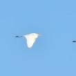モエレの鳥たち 12/13 氷の上でくつろぐキツネ 新顔かな・・・