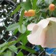 「バラ」が咲いた!
