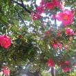 楽書き雑記「赤・白・ピンク。今、名古屋・鶴舞公園の主役はサザンカです」