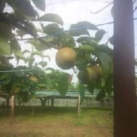 初めての梨の収穫