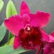●Rlc. Pacific Ruby'Rie'