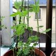 スプラウトの豆苗を育ててます