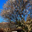 『1月の梅』 正泉寺