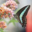 アオスジアゲハ(蝶)