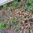 西瓜の蔓が枯れる。