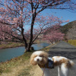 2018☆河津桜お花見旅行☆みなみの桜と菜の花まつり2/23(金)