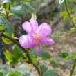 冬に咲く野バラ