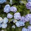 梅雨です! 紫陽花の季節でしょうか。 近所も花盛りです!