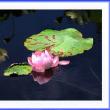 沐浴の蓮花