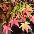 """紅葉しないまま落葉!? ・・・北日本では""""史上最も暑い秋"""""""